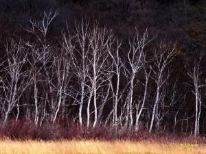 尾瀬ヶ原の白樺